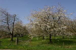 Hoogstam Kersenboomgaard april-2011-005