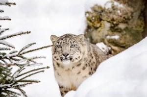 sneeuwluipaard uitjebewust