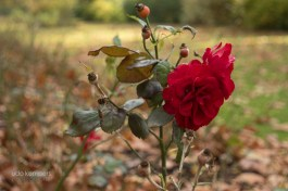 the last roses