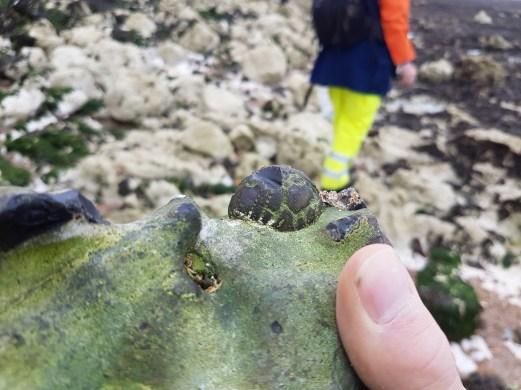 Echinocorys found by Aidan