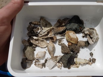 Nice collection of shells found by Alex Dixon