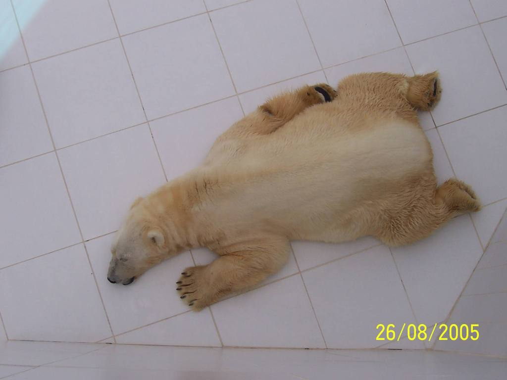 Sleeping polar bear at Zoo de la Palmyre