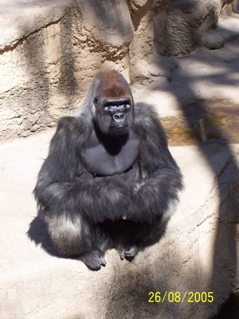 A gorilla at Zoo de la Palmyre