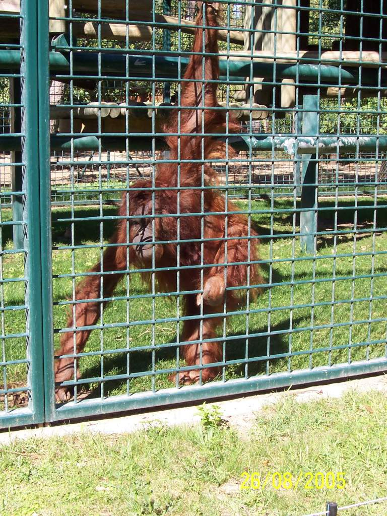 An Orangutan at Zoo de la Palmyre