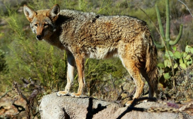 Coyote Sightings Trigger Community Alert