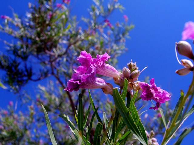 Desert Willow Trail this Week's Day Hike