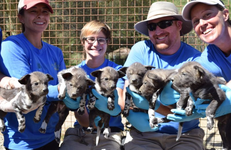 Wild Dog Puppies Healthy at 1 Month [VIDEO]
