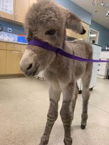 Injured Baby Burro Rescued by Animal Services