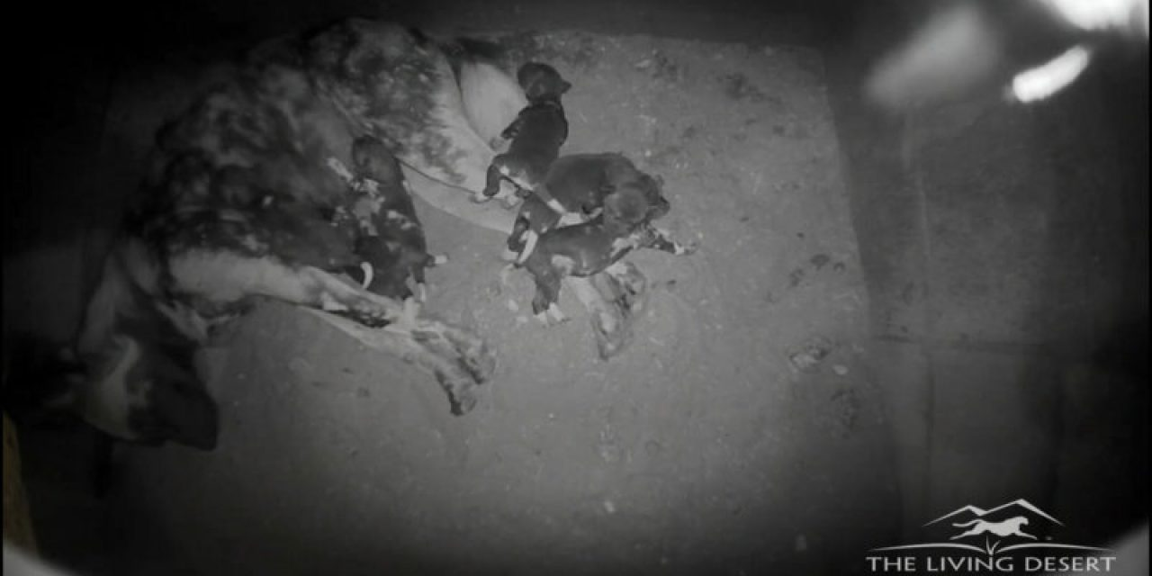 African Wild Dogs Welcome Litter [VIDEO]