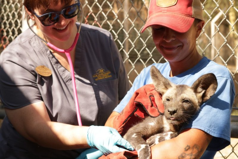 Help Name African Wild Dog Puppy at Zoo