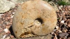 Leioceras opalinum