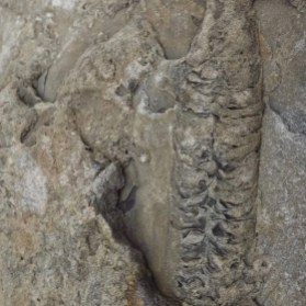 Scolicia locomotion trace fossil