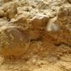 Brachiopods in quarry face