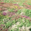 Heather and gorse - cliff path