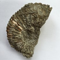 Ringstead Bay Ammonite