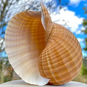 Giant Shells
