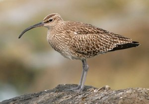 bp_whimbrel_15_240409_500