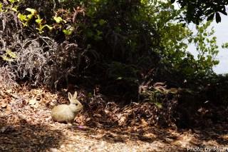 ウサギ島12