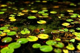 シモネの池05