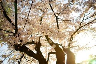 靖国神社・桜06