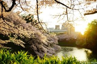 靖国神社・桜16