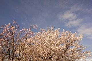 境川・桜14