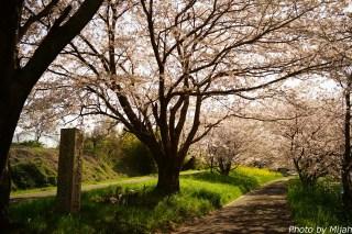 境川・桜05