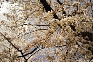 多治見・桜18