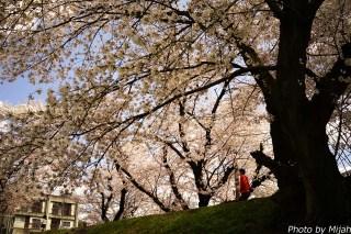 多治見・桜14