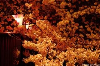 東京夜桜05