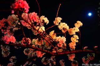 東京夜桜11
