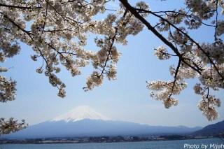 河口湖・桜10