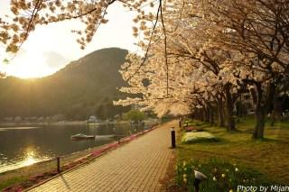 河口湖・桜07