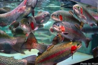 salmon-museum08