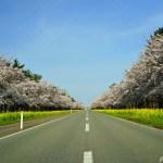 桜・菜の花ロード ~延長11km!秋田県大潟村の菜の花と桜の花道~