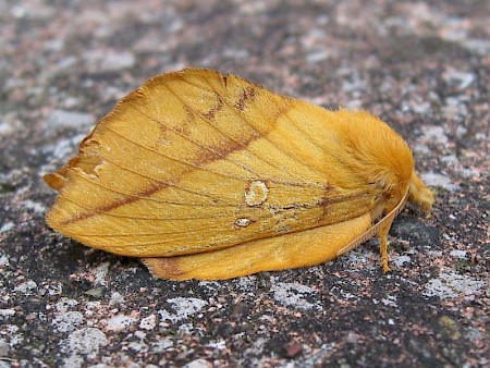The Drinker Euthrix potatoria