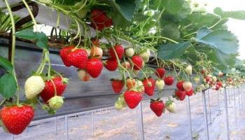 Як ветеран АТО збудував успішний бізнес на полуниці