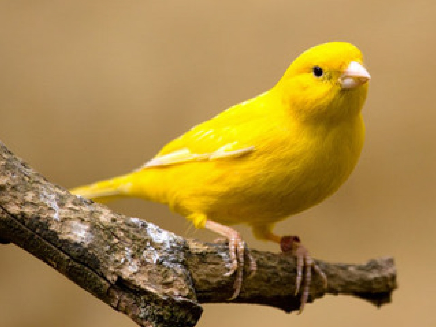Image result for yellow birds images