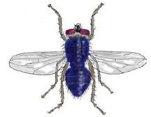 Почему мухи кусаются. Кусаются ли мухи? Почему в конце лета они нападают на людей? Почему мухи начинают кусаться в конце лета