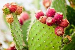Ini Dia Manfaat Ekstrak Buah Kaktus untuk Kesehatan Kulit