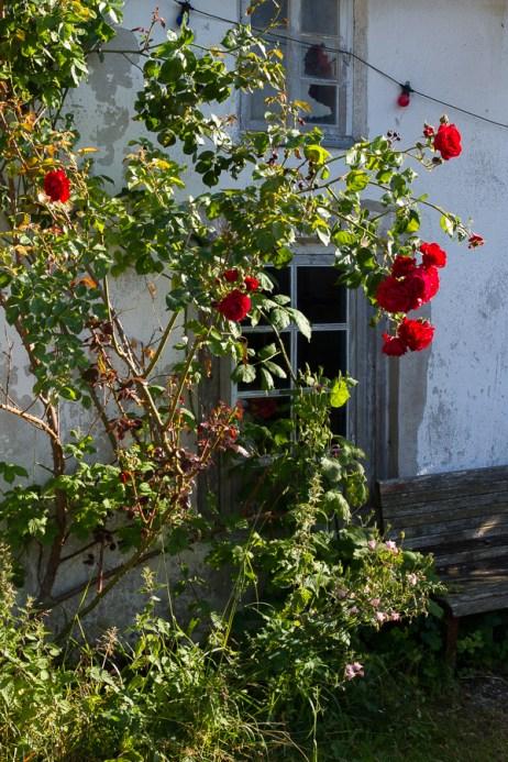 Gotland - rosornas ö.