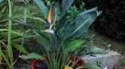 Strelitzia-reginae-viveros-de-ulia-ave-del-paraiso3