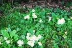 primulas-vulgaris-viveros-de-ulia