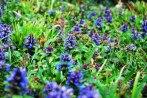 prunella_vulgaris-uliako-mintegien-parkean