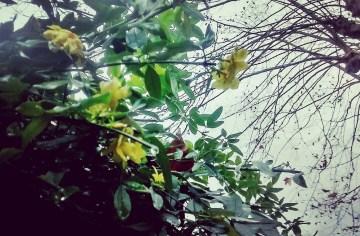 jasmin horia Uliako Mintegiak parkean | jazmín amarillo en el parque de Viveros de Ulia