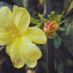 #Jasminum mesnyi o vulgarmente #jazmín #amarillo es una especie #botánica de jazmín de la familia de las #Oleaceae. Es endémica de #China. Fuera de su rango nativo, puede ser maleza.