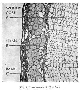 Cross Sections of Flax Stem