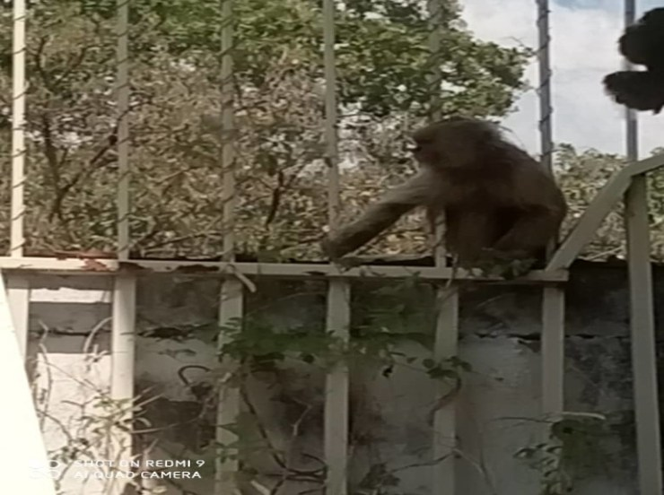 The monkey who escaped from the Las Delicias zoo turns on social networks