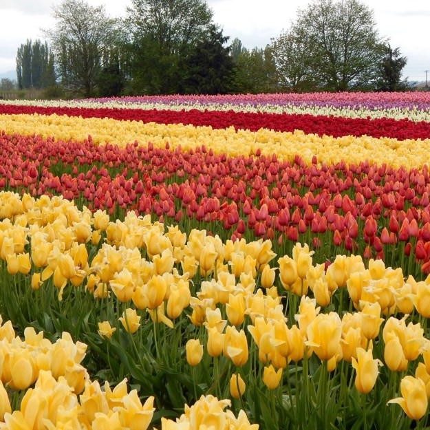 Skagit Valley Tulip Festival, La Conner, Washington