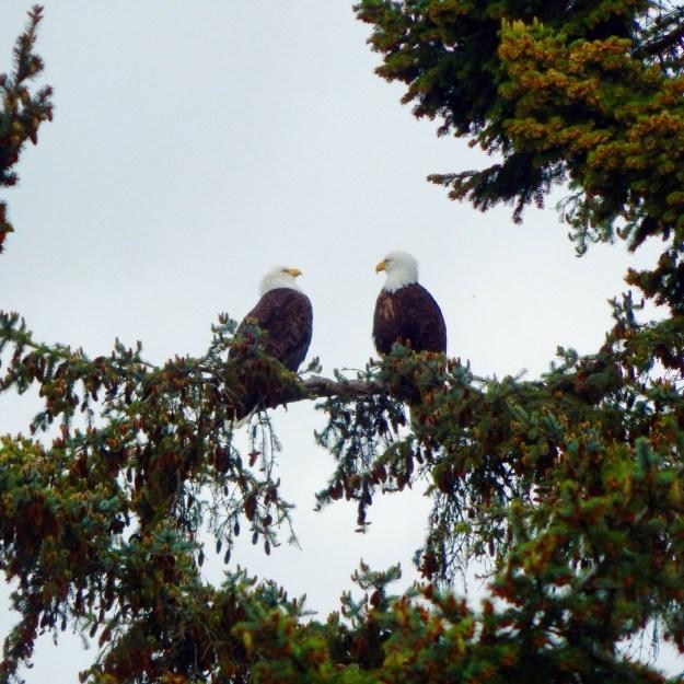 Bald eagles in Deception Pass State Park, Rosario Beach, Whidby Island, Washington